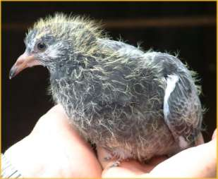 I have never seen a baby pigeon in my entire life ...